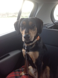 Zeuss, chien Labrador Retriever