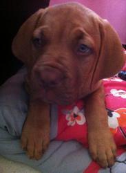 Zeyan, chien Dogue de Bordeaux