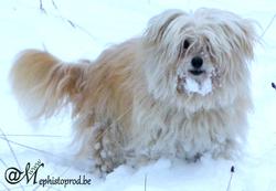 Zézette, chien Bichon havanais