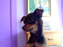 Zézette, chien Chihuahua