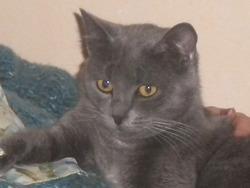 Zézette, chat Chartreux