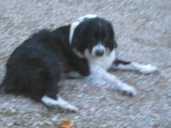 Zhao, chien Berger australien