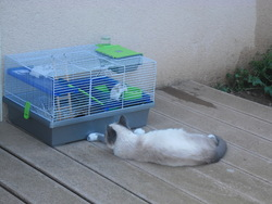 Zhu Zhu, rongeur Hamster