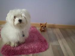 Zia, chien Bichon maltais