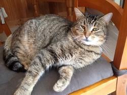 Zia, chat Européen