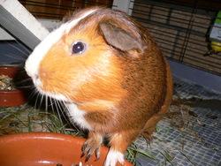 Zig, rongeur Cochon d'Inde