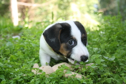 Ziggs, chien Jack Russell Terrier