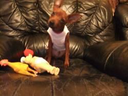 Ziggy, chien Pinscher