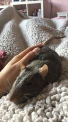 Ziggy, rongeur Rat