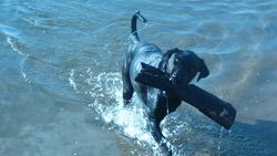 Zimba, chien Dobermann