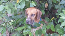 Zina, chien Beagle