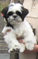 Zina, chien Shih Tzu