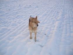 Zina, chien Colley à poil long