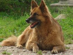 Zita, chien Berger belge
