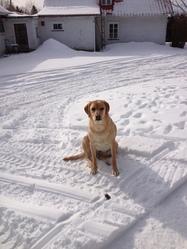 Ziva, chien Labrador Retriever
