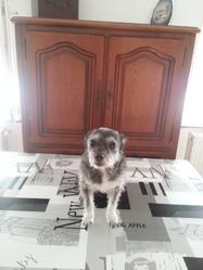 Ziva, chien