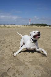 Ziva , chien Dogue argentin