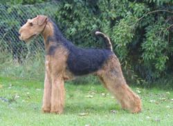 Ziva, chien Airedale Terrier