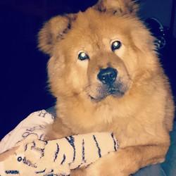 Ziwok, chien Chow-Chow