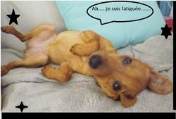 Zizlie, chien Pinscher