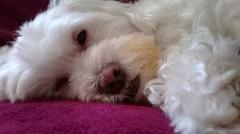 Zizou, chien Bichon maltais