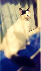 Zizou, chat Angora turc