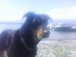 Zizou, chien Beauceron