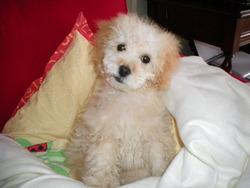 Zoé, chien Caniche