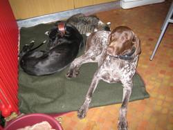 Zoe, chien Lévrier espagnol