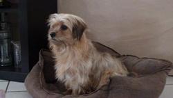 Zoe , chien Yorkshire Terrier