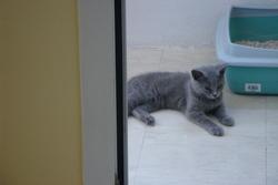 Zoé, chat Chartreux