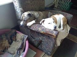 Zoe, chien Teckel