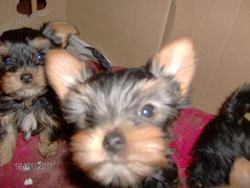 Zoé, chien Yorkshire Terrier