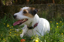 Zoé, chien Parson Russell Terrier