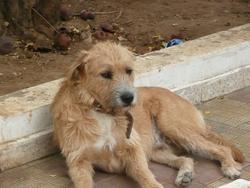 Zoe, chien Fox-Terrier