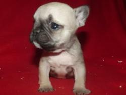 Zoé, chien Bouledogue français