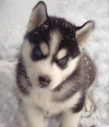 Zoé, chien Husky sibérien