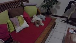 Zoe, chien Bichon maltais