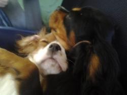 Zoé, chien Cavalier King Charles Spaniel