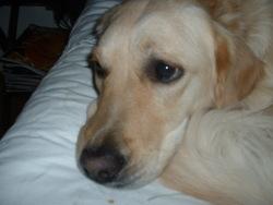 Zoé, chien Golden Retriever