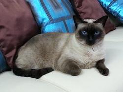 Zoe , chat Siamois