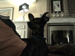 Zoé, chien Pinscher
