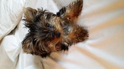 Zoe, chien Yorkshire Terrier