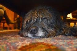 Zoé, chien Berger catalan