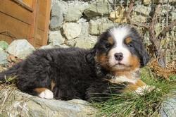 Zoé, chien Berger allemand