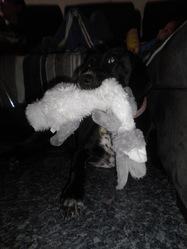 Zoé, chien Dalmatien