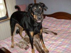 Zoé, chien Beauceron