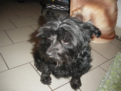 Zoé, chien Yorkshire Terrier