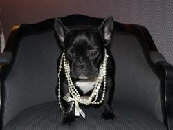 Zoé, chien Bulldog
