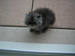 Zoé, chat Persan